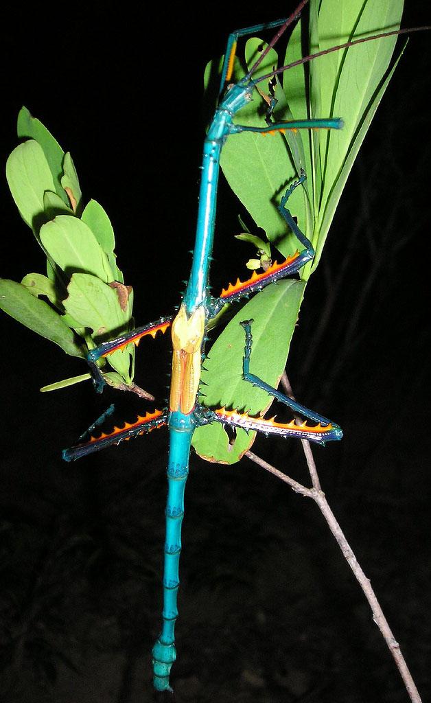 Achrioptera fallax (Мадагаскар) Achrioptera_fallax_Coquerel_1861M4