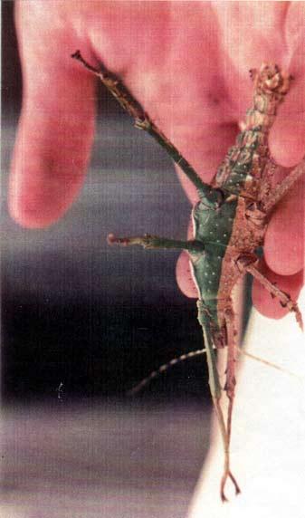 faux male carausius morosus Dilatata_gynamdromorphe2