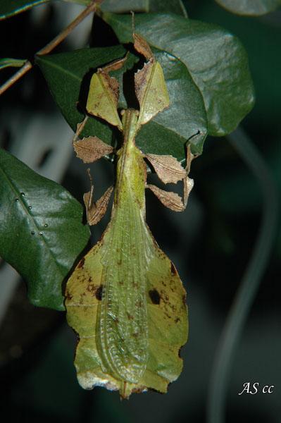 Andromorphisme chez les insectes _SC_0017